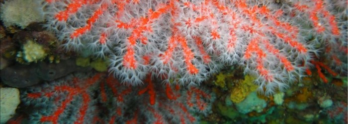 Corail rouge Copyright : Anne-Laure CLEMENT/PN Calanques