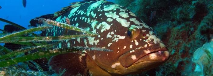 Mérou brun Copyright : F. FEDOROWSKY/PN Calanques