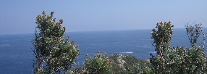 Anthyllis barba jovis, espèce protégée, Cap Lardier - Copyright : ARPE PACA