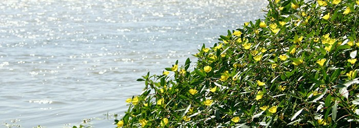 La Jussie, plante envahissante - Copyright : ARPE PACA