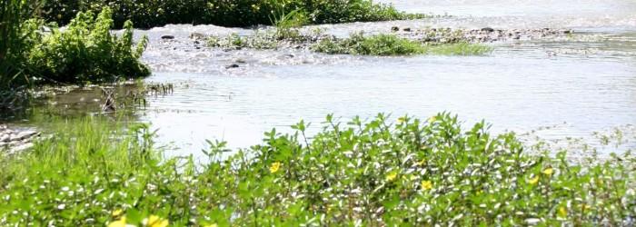 Jussie : plante envahissante des cours d'eau - Copyright : ARPE PACA