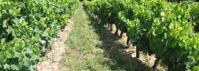 Enherbement vignes Bassin versant d'Hérin ©V. MAYEN/Agence de l'Eau RMC